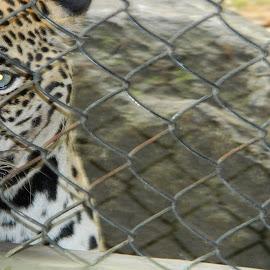 Angry Hunter by Bhavin Malavia - Animals Lions, Tigers & Big Cats ( bhavin malavia )