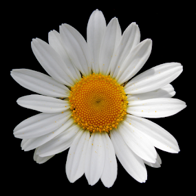 Single Flower. by Kelly Williams - Flowers Single Flower ( macro, single, nature, daisy, natural, flower, photography, floral )