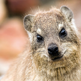 by John Phielix - Animals Other Mammals ( colour, rock-hyrax )