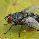 Fly species