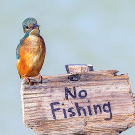 disappointed by Andrea Casalboni - Animals Birds ( #pescatore, #bird, #martin, #kingfisher, #italy )