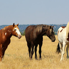 Boys on the Hill by Kathy Tellechea - Animals Horses ( nature, stallions, mustangs, outdoors, pinto, steens, wild horses )