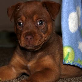 Cinnabon by Mina Thompson - Animals - Dogs Puppies ( shephard, puppy, reddish-brown, dog, rottweiler )