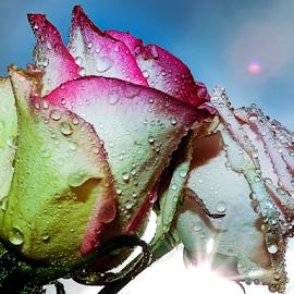 twoo roses by LADOCKi Elvira - Flowers Flower Arangements ( nature, color, flowers, garden )