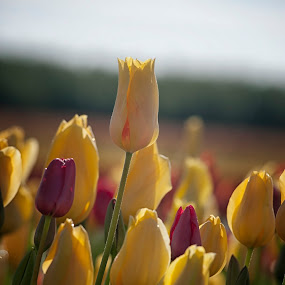 Early Morning Blooms  by Kelvin Watkins - Flowers Flower Gardens ( yellow tulips, red, morning, soft )