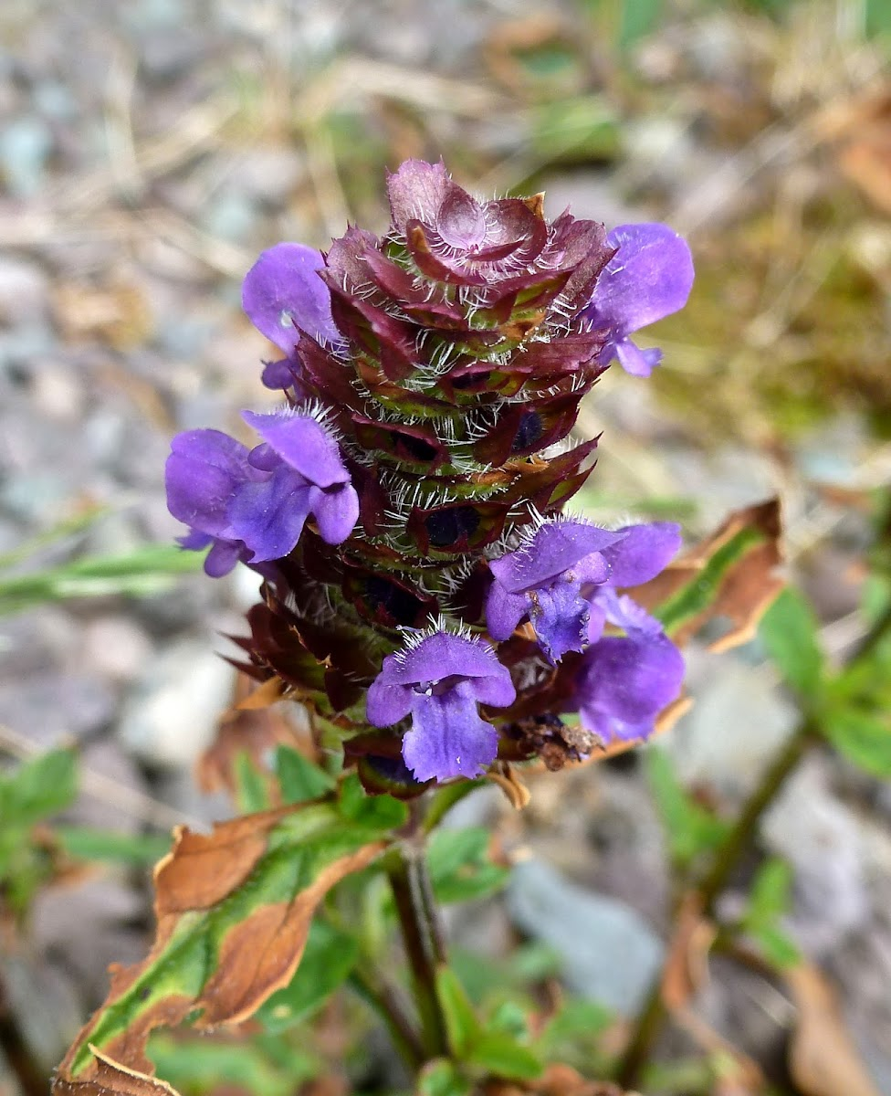 Selfheal or Heal-all