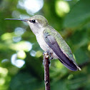 Anna's Hummingbird(Female)