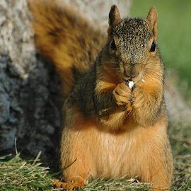 Squirrel Supper by Ron Keller - Animals Other Mammals ( south dakota, mammal, corn, squirrel, animal )