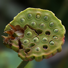 Seed pod of a lotus flower by Nikola Vlahov - Nature Up Close Gardens & Produce ( nelumbo nucifera, seed pod, lotus, nature, garden )
