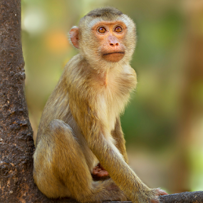 by Charliemagne Unggay - Animals Other ( monkey, animal )