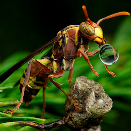 Wasp 150304 by Carrot Lim - Animals Insects & Spiders