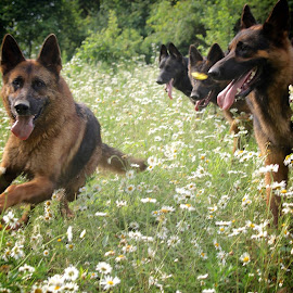 And she's off! by Kira Brita - Animals - Dogs Playing