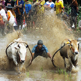 pacik arek-arek.. by Romi Febrianto - Sports & Fitness Rodeo/Bull Riding ( field, cowboy, cow, traditional, bull )