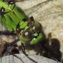 Eastern Pondhawk Dragonfly (immature male)