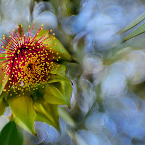 Gum tree flower  by Zdenka Rosecka - Flowers Tree Blossoms (  )