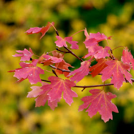 Autumn foliage by Hunter Ten Broeck - Nature Up Close Leaves & Grasses ( red, autumn, fall foliage, hawthorn, yellow, maple )
