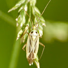 Two-spotted grass bug