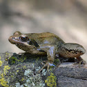 Italian agile frog