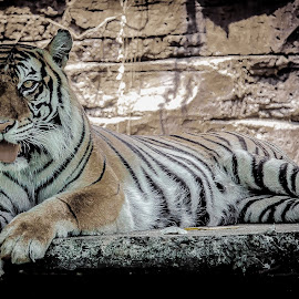 miaww by Ricky Agvirty - Animals Lions, Tigers & Big Cats