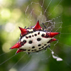Crab-Like Spiny Orb-Weaver