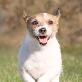 Flying terrier by Mia Ikonen - Animals - Dogs Running ( jack russell terrier, female, finland, little, fast,  )