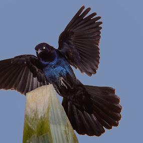 Grackle by Danny Robbins - Animals Birds (  )