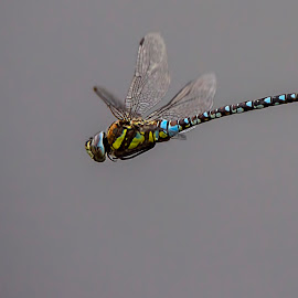 Dragon Flying by Roland Rodgerson - Animals Insects & Spiders ( flight, macro, wings, insects, dragonfly,  )