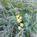 common agrimony / church steeples / sticklewort