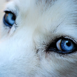 Through The Eyes of Love by Kristina Austin Scarcelli - Animals - Dogs Portraits ( dogs, siberian husky, beautiful dog, blue eyes )