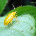 Yellow orchid beetle