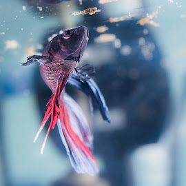 Siamese Fighting Fish by Mark Richard Day - Animals Fish ( bloodworm, red, blue, fish, tropical, feeding, fresh water, fighting, tank, siamese )