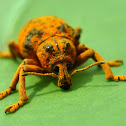 Wattle Pig/Elephant Beetle (Weevil)