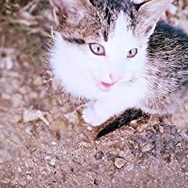 Kitty  by Joneta Bytyqi - Animals - Cats Kittens ( cat, street, kitty )