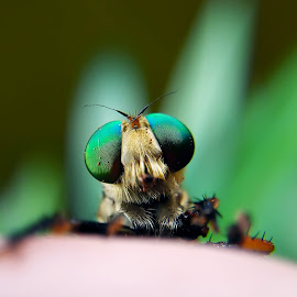 Kon'nichiwa by Rizki Irfansyah - Instagram & Mobile Android ( beautiful eyes, insect, robber, eyes, robberfly )