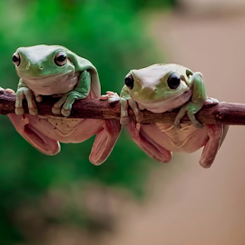 Morning Couple by Vincent Sinaga - Animals Amphibians
