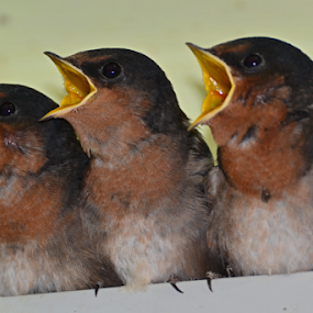Little Trio by Kamila Romanowska - Animals Birds ( bird, swallows, nature, australia, wildlife, swallow, baby, cute, hungry, sydney )