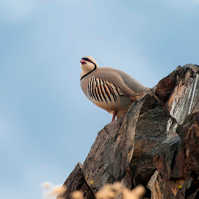 Chukar by Cody Hoagland - Animals Birds ( chukar )