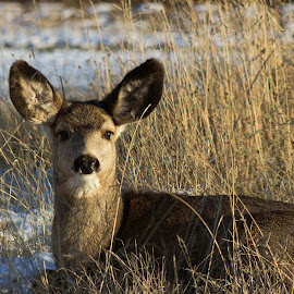 Taking in the evening sun by Angela Skinner - Animals Other Mammals ( relax, wildlife, doe, relaxation, relaxing, deer,  )