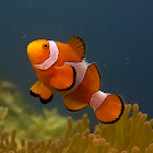Nemo - False Clownfish