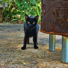 Black Cat by Charles Ward - Animals - Cats Kittens