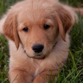 Let's play ball by Charlie Bird - Animals - Dogs Puppies ( ball, grass, puppy, dog, puppy portrait, golden retriever,  )