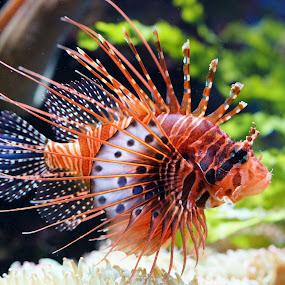 Lionfish by Dark Reid - Animals Fish (  )