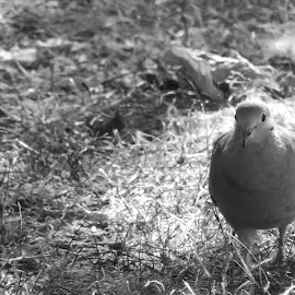 Dove on the ground. by Theresa Campbell - Novices Only Wildlife ( bird, black and white, dove,  )
