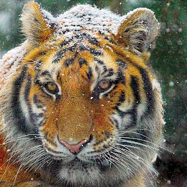 Anyone Tired of this Snow Yet? by John Larson - Animals Lions, Tigers & Big Cats