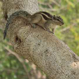 by Ankit Patankar - Animals Other ( tree, squiirrel, garden, squirrel, animal )