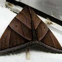 Chocolate Owlet Moth