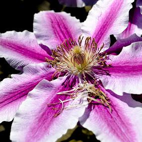 Beautiful pink flower by Jean Bogdan Dumitru - Flowers Single Flower