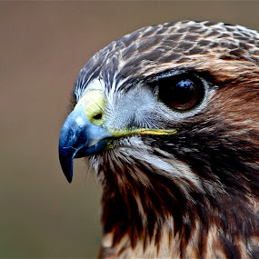 Portrait of a Raptor by Roy Walter - Animals Birds (  )