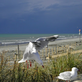 Gull Coming in to Land by Averil Mucalo - Nature Up Close Water ( stormy, flight, seagull, wingspan, seaview, bird, fly )