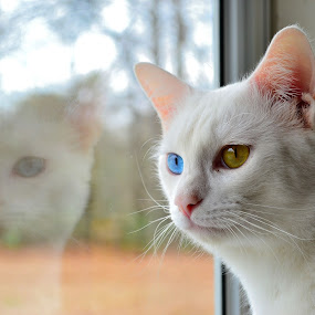 Double Trouble by Patricia Warren - Animals - Cats Portraits ( cat, reflection, meow, door, eyes )